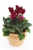 cyclamen flowerpot стоковое фото rf