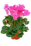 Cyclamen in a flowerpot Royalty Free Stock Image