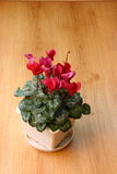 Cyclamen flowerpot. Red cyclamen flowerpot on wooden floor Stock Photos