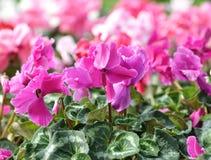 Cyclamen flowers Stock Image