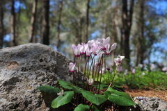 Cyclamen flowers. Royalty Free Stock Photography