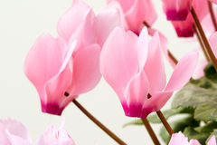 Cyclamen flowers. The close-up of pink cyclamen flowers Royalty Free Stock Photography