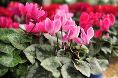 Cyclamen Flowers Stock Photos