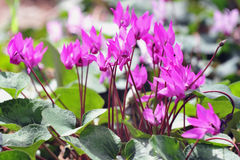 Cyclamen Flowers stock photography
