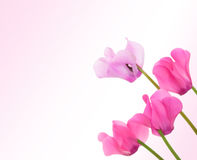 Cyclamen flowers Royalty Free Stock Image