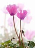 Cyclamen flowers Stock Photo