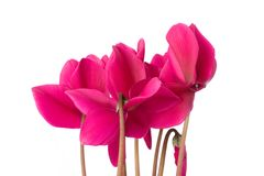 Cyclamen flowers. On the white stock images