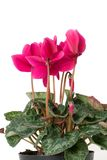 Cyclamen flowers. On the white royalty free stock images