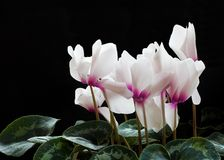 Cyclamen Flowers Stock Image