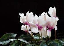 Free Cyclamen Flowers Stock Image - 3769641