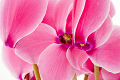 Cyclamen flowers. Close up of a Cyclamen flowers Royalty Free Stock Image