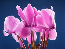 Cyclamen flowers Royalty Free Stock Photo
