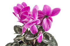 Free Cyclamen Flowers Royalty Free Stock Photography - 93625357