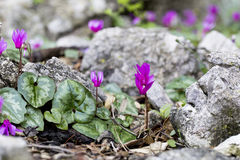 Cyclamen. Flowers on the Adriatic coast stock image