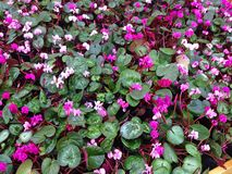 Cyclamen flowers as a background. Stock Photo