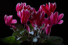 Cyclamen Flowers. Cyclamen blossom on black background Royalty Free Stock Image