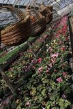 Cyclamen. Cyclamen flowers in blossom in greenhouse ready for sales. Pink, purple, ornamental, white, violet cyclamens with green. Cyclamen. Field with Cyclamen Stock Images