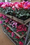 Cyclamen. Cyclamen flowers in blossom in greenhouse ready for sales. Pink, purple, ornamental, white, violet cyclamens with green. Leafs in plastic pots. Floral Stock Photography