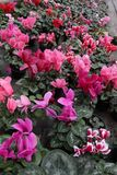 Cyclamen. Cyclamen flowers in blossom in greenhouse ready for sales. Pink, purple, ornamental, white, violet cyclamens with green. Leafs in plastic pots Royalty Free Stock Image