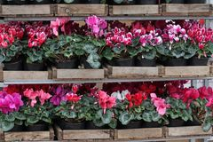 Cyclamen. Cyclamen flowers in blossom in greenhouse ready for sales. Pink, purple, ornamental, white, violet cyclamens with green. Leaves in plastic pots Royalty Free Stock Photography