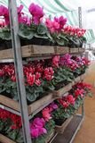 Cyclamen. Cyclamen flowers in blossom in greenhouse ready for sales. Pink, purple, ornamental, white, violet cyclamens with green. Leaves in plastic pots Royalty Free Stock Images
