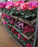 Cyclamen. Cyclamen flowers in blossom in greenhouse ready for sales. Pink, purple, ornamental, white, violet cyclamens with green. Leaves in wooden pots Stock Images