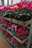 Cyclamen. Cyclamen flowers in blossom in greenhouse ready for sales. Pink, purple, ornamental, white, violet cyclamens with green. Leaves in wooden pots Royalty Free Stock Photography