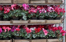 Cyclamen. Cyclamen flowers in blossom in greenhouse ready for sales. Pink, purple, ornamental, white, violet cyclamens with green. Leaves in wooden pots Royalty Free Stock Images