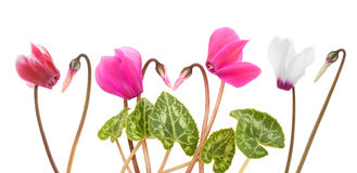 Cyclamen flowers and buds Stock Photo