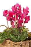 Cyclamen flowers decoration Royalty Free Stock Photography
