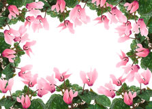 Cyclamen flowers  frame Stock Photos