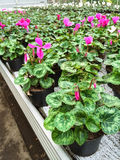 Cyclamen flowers in a garden center Royalty Free Stock Photography