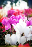 Cyclamen flowers in a greenhouse Stock Photo