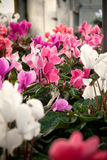 Cyclamen flowers in a greenhouse Stock Image