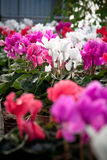 Cyclamen flowers in a greenhouse Royalty Free Stock Photos
