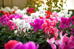 Cyclamen flowers in a greenhouse Royalty Free Stock Image