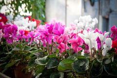 Cyclamen flowers in a greenhouse Royalty Free Stock Photography