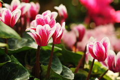 cyclamen flowers in greenhouse close-up Royalty Free Stock Photos