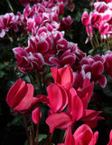 Cyclamen Flowers - Two Varieties. Closeup of two varieties of Cyclamen Flowers Royalty Free Stock Image