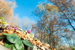 Cyclamen in the forest Stock Photo