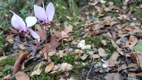 Cyclamen forest autumn pink flowers. Dark Royalty Free Stock Photos