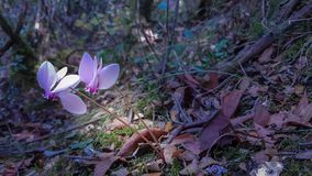 Cyclamen forest autumn pink flowers. Dark Stock Images