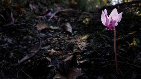 Cyclamen forest autumn pink flowers  dark. Night Royalty Free Stock Images