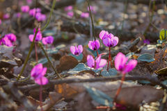 Cyclamen in the forest. Primroses. Cyclamen in the forest. Spring flowers in the forest, flowers in the leaves. Primroses Stock Photography