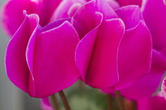 Cyclamen  in the garden Royalty Free Stock Image
