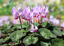 Cyclamen, gentle purple flowers Royalty Free Stock Image