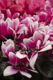 Cyclamen Royalty Free Stock Photo