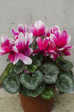 Cyclamen. Is a genus of 23 species of perennials growing from tubers, valued for their flowers with upswept petals and variably patterned leaves.  species are Stock Images