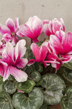 Cyclamen. Is a genus of 23 species of perennials growing from tubers, valued for their flowers with upswept petals and variably patterned leaves.  species are Stock Image