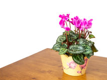 Cyclamen houseplant with pink flowers, domestic setting,white ba Royalty Free Stock Photo